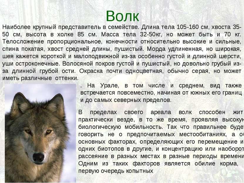 Волк Наиболее крупный представитель в семействе. Длина тела 105-160 см, хвост...
