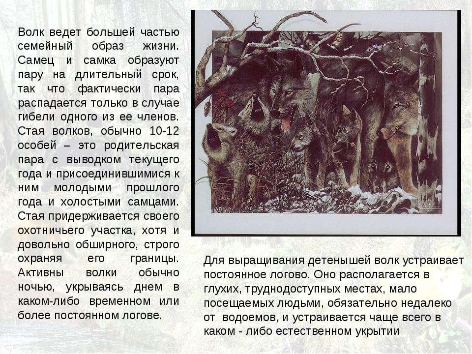 Волк ведет большей частью семейный образ жизни. Самец и самка образуют пару н...