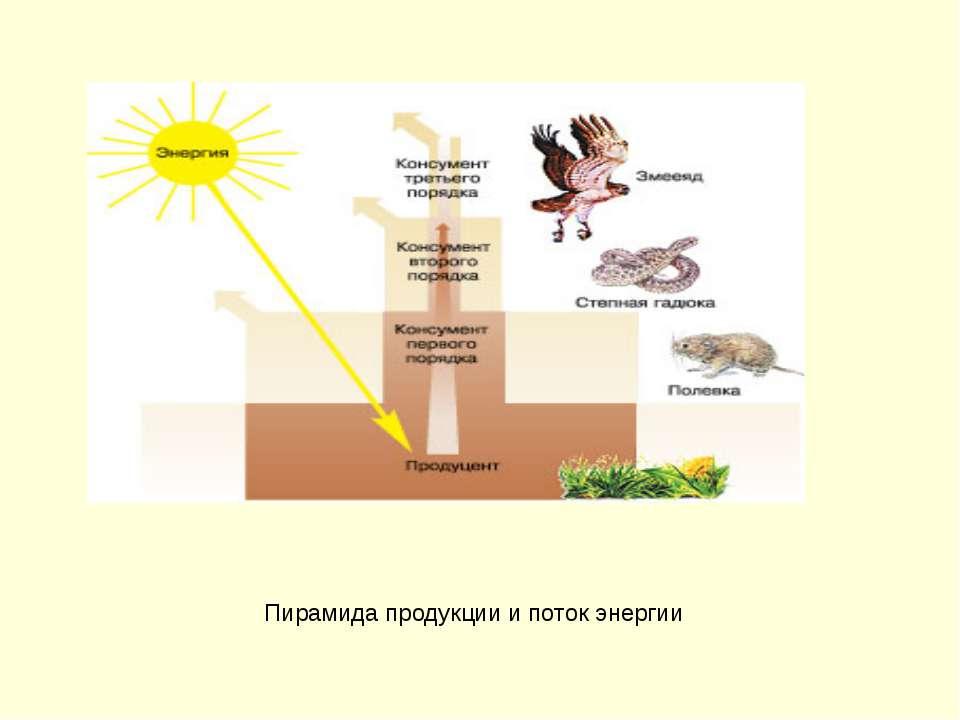 Пирамида продукции и поток энергии