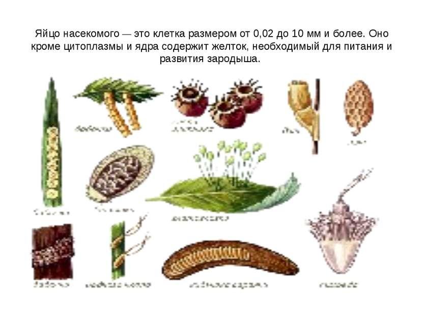 Яйцо насекомого— это клетка размером от 0,02 до 10 мм и более. Оно кроме цит...