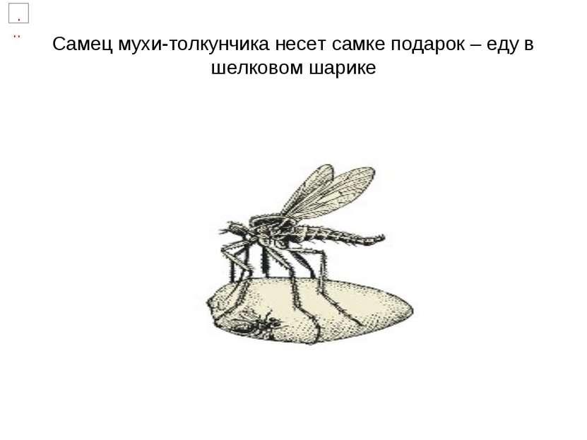 Самец мухи-толкунчика несет самке подарок – еду в шелковом шарике