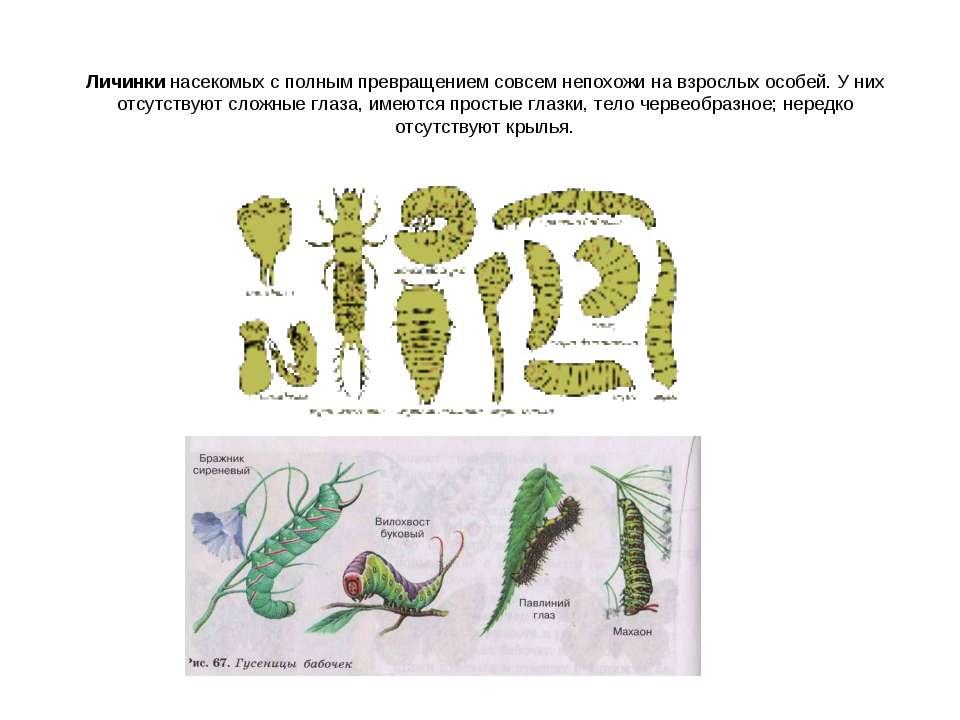 Личинки насекомых с полным превращением совсем непохожи на взрослых особей. У...