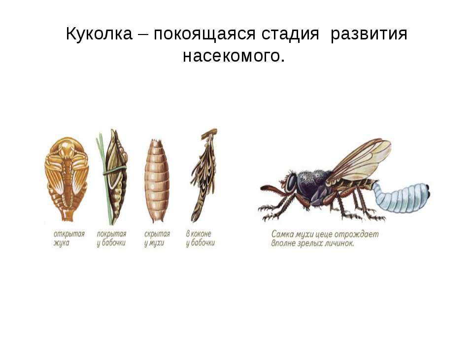 Куколка – покоящаяся стадия развития насекомого.