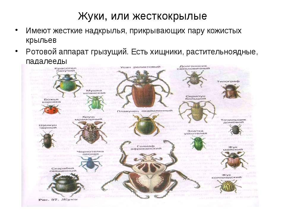 Жуки, или жесткокрылые Имеют жесткие надкрылья, прикрывающих пару кожистых кр...