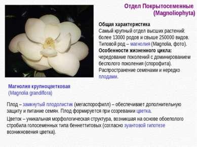 Отдел Покрытосеменные (Magnoliophyta) Плод – замкнутый плодолистик (мегаспоро...