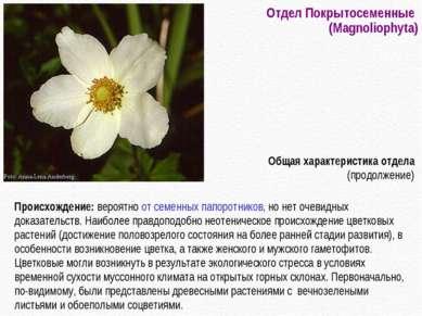 Отдел Покрытосеменные (Magnoliophyta) Происхождение: вероятно от семенных пап...