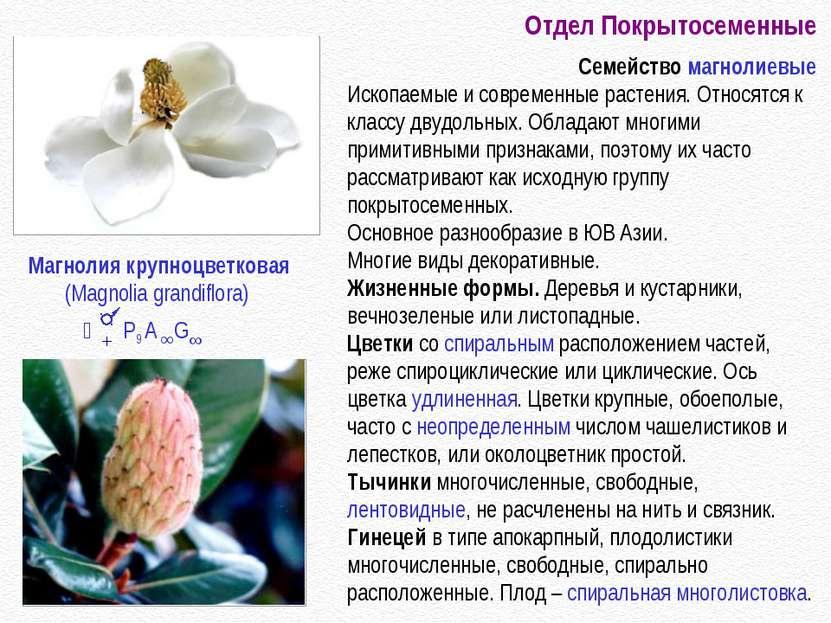 Отдел Покрытосеменные Семейство магнолиевые Ископаемые и современные растения...