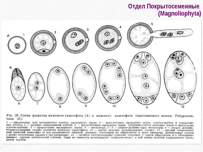 Отдел Покрытосеменные (Magnoliophyta)