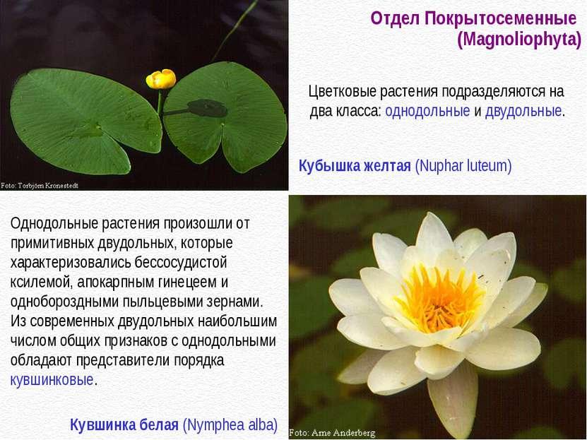 Отдел Покрытосеменные (Magnoliophyta) Однодольные растения произошли от прими...