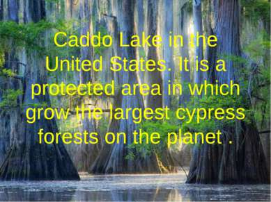 Caddo Lake in the United States. It is a protected area in which grow the lar...