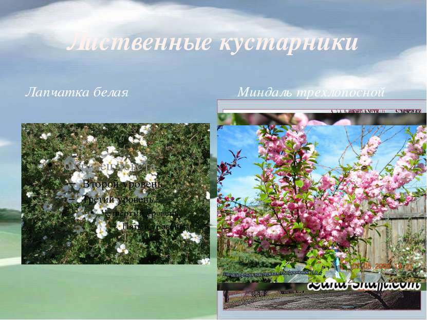 Лиственные кустарники Лапчатка белая Миндаль трехлопосной