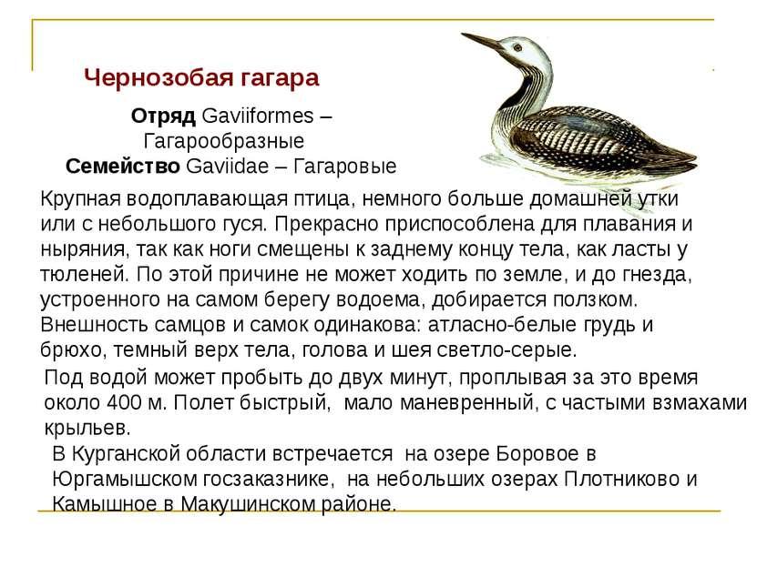 Чернозобая гагара Отряд Gaviiformes – Гагарообразные Семейство Gaviidae – Гаг...