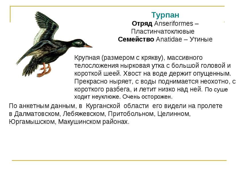 Турпан Отряд Anseriformes – Пластинчатоклювые Семейство Anatidae – Утиные Кру...