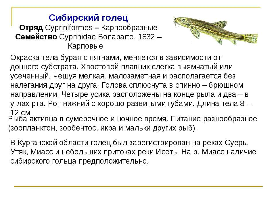 Сибирский голец Отряд Cypriniformes – Карпообразные Семейство Cyprinidae Bona...