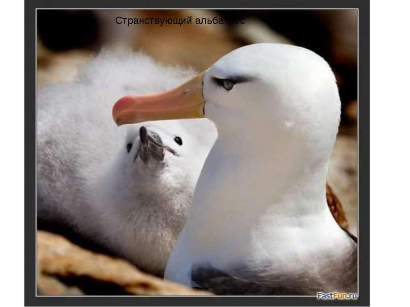Странствующий альбатрос