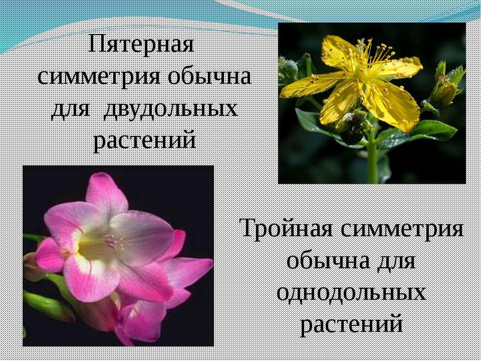 Пятерная симметрия обычна для двудольных растений Тройная симметрия обычна дл...
