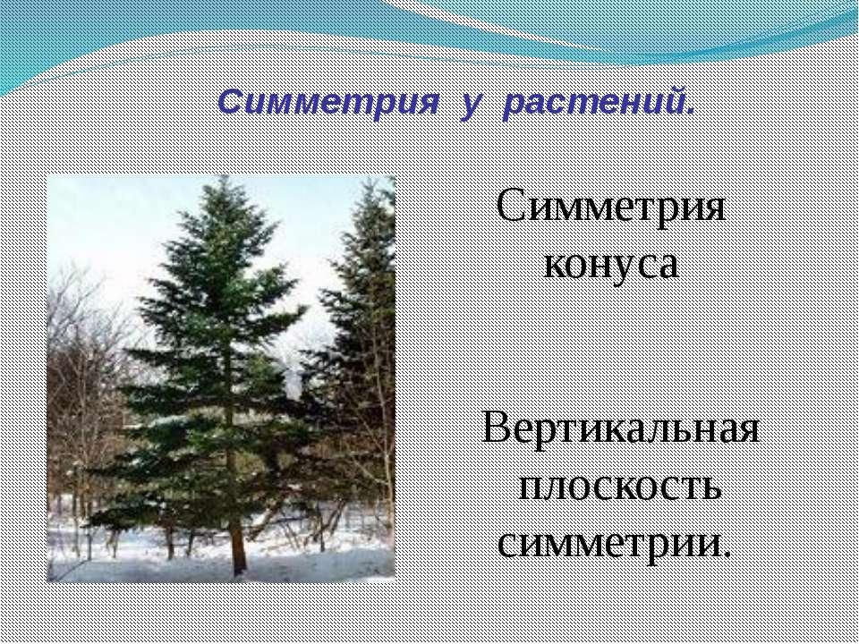 Симметрия у растений. Симметрия конуса Вертикальная плоскость симметрии.