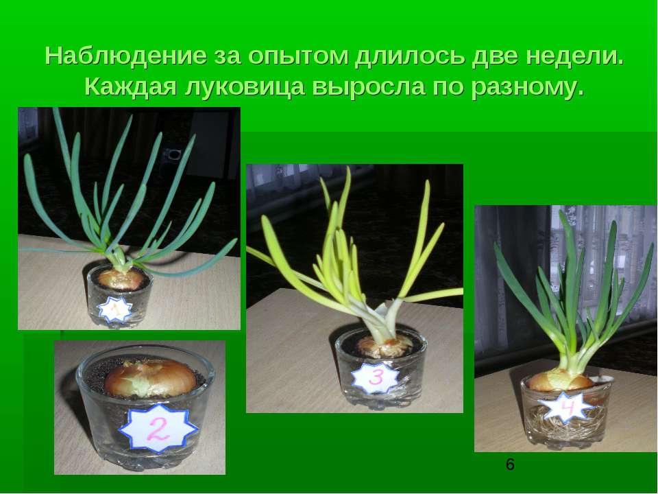 Наблюдение за опытом длилось две недели. Каждая луковица выросла по разному.
