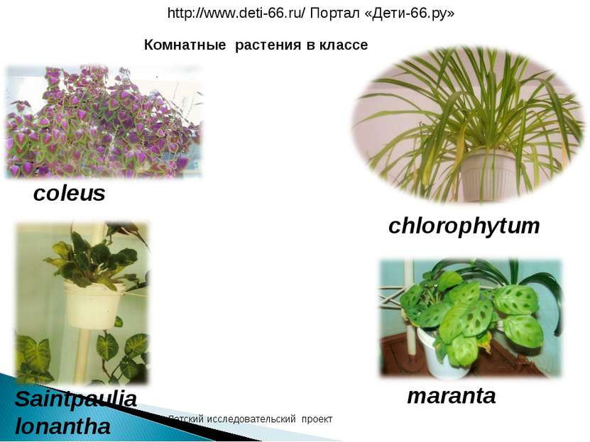 coleus chlorophytum Saintpaulia lonantha maranta Комнатные растения в классе ...