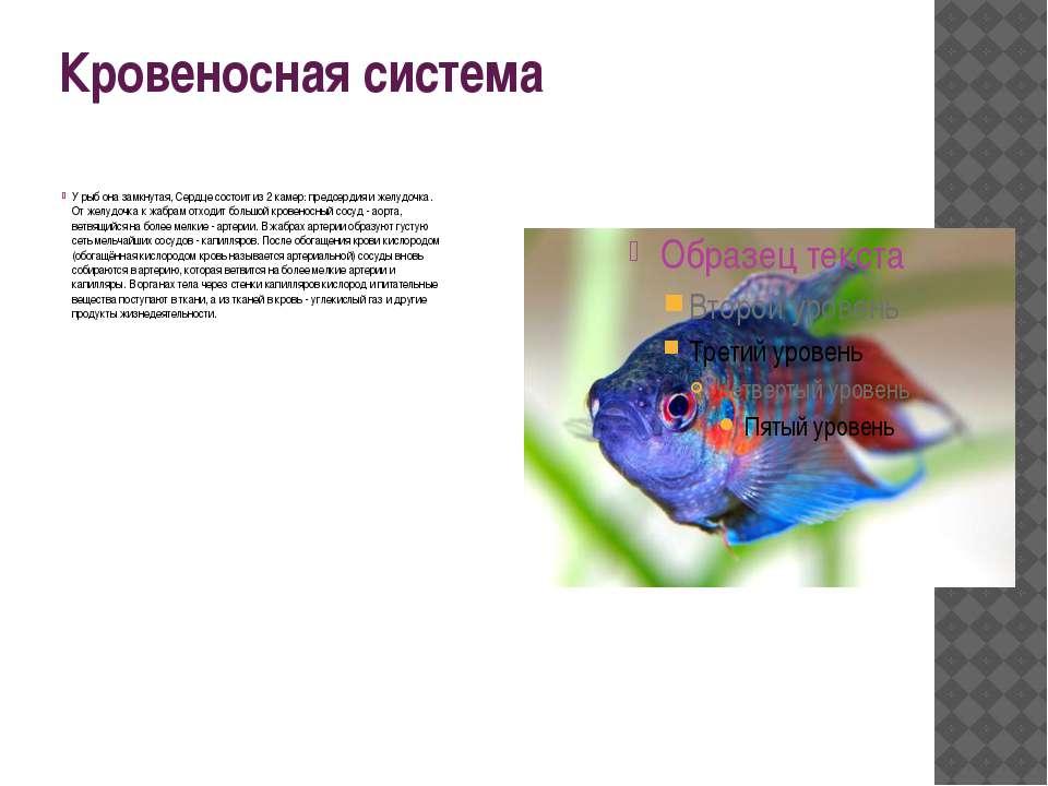 Кровеносная система У рыб она замкнутая, Сердце состоит из 2 камер: предсерди...