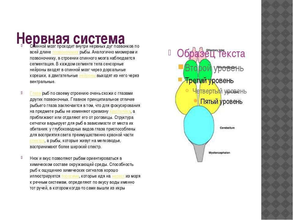 Нервная система Спинной мозг проходит внутри нервных дуг позвонков по всей дл...