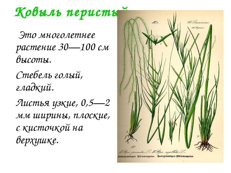 Ковыль перистый Это многолетнее растение 30—100 см высоты. Стебель голый, гла...
