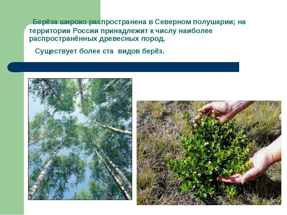 Берёза широко распространена в Северном полушарии; на территории России прина...