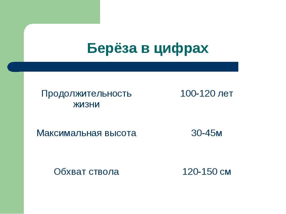 Берёза в цифрах Продолжительность жизни 100-120 лет Максимальная высота 30-45...