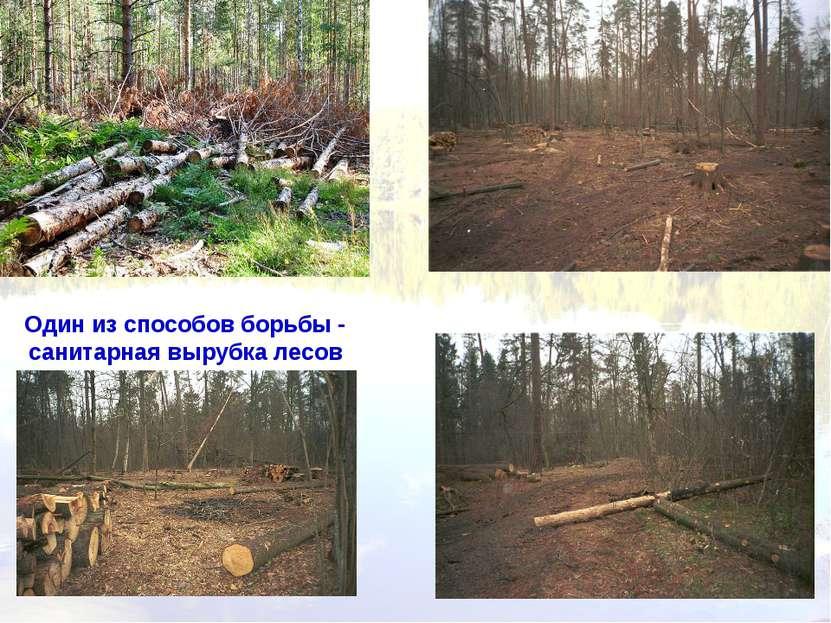 Один из способов борьбы - санитарная вырубка лесов