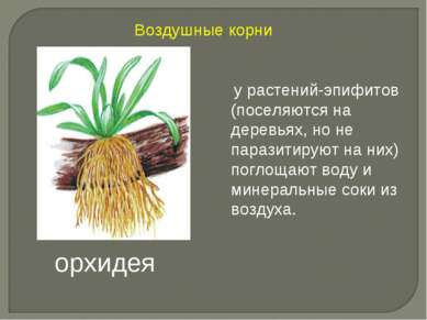 у растений-эпифитов (поселяются на деревьях, но не паразитируют на них) погло...