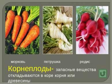 Корнеплоды- запасные вещества откладываются в коре корня или древесины морков...