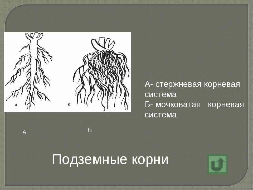 Подземные корни А- стержневая корневая система Б- мочковатая корневая система...