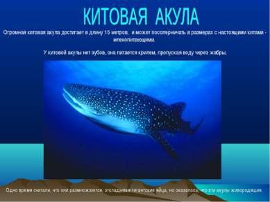 Огромная китовая акула достигает в длину 15 метров, и может посоперничать в р...