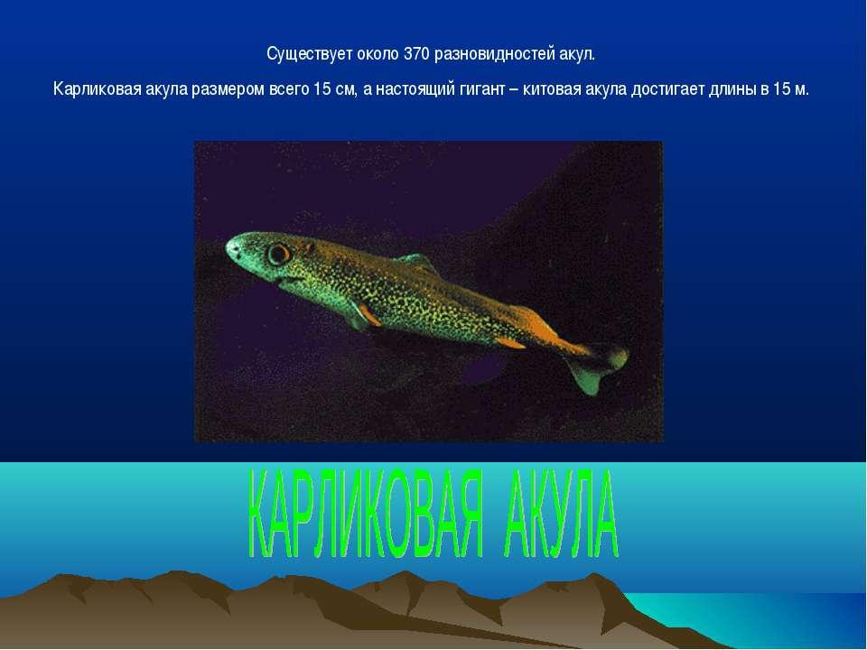 Существует около 370 разновидностей акул. Карликовая акула размером всего 15 ...