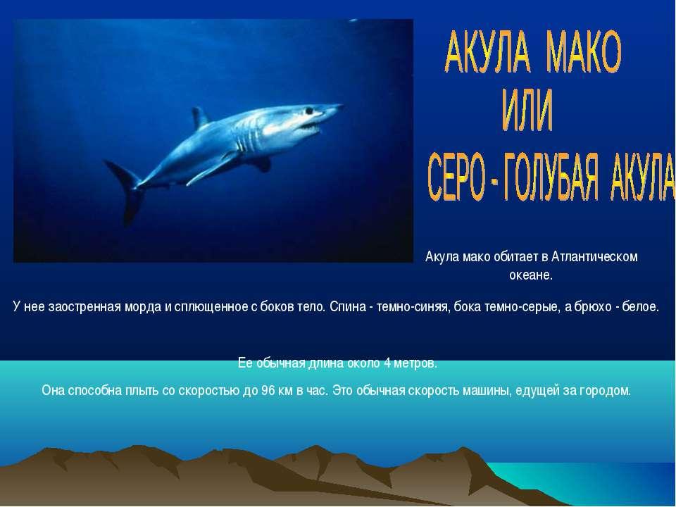 Акула мако обитает в Атлантическом океане. Ее обычная длина около 4 метров. О...
