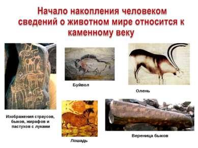 Изображения страусов, быков, жирафов и пастухов с луками Вереница быков Лошад...