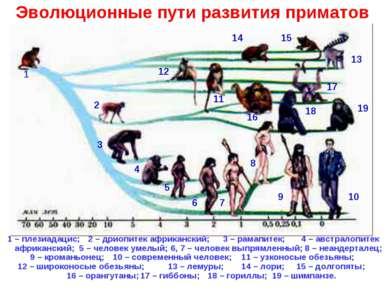 1 – плезиадацис; 1 2 3 4 5 6 7 8 9 10 11 12 13 14 15 16 17 18 19 2 – дриопите...