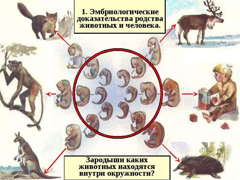 1. Эмбриологические доказательства родства животных и человека. Зародыши каки...