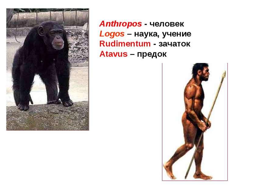 Anthropos - человек Logos – наука, учение Rudimentum - зачаток Atavus – предок