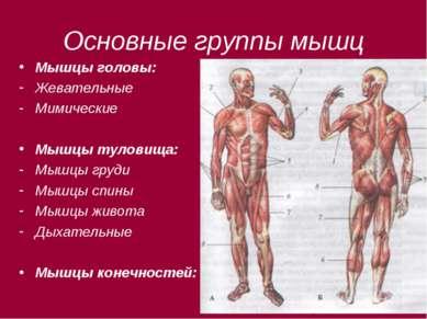 Основные группы мышц Мышцы головы: Жевательные Мимические Мышцы туловища: Мыш...