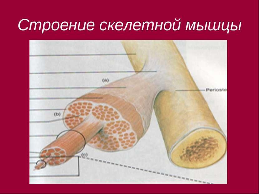 Строение скелетной мышцы