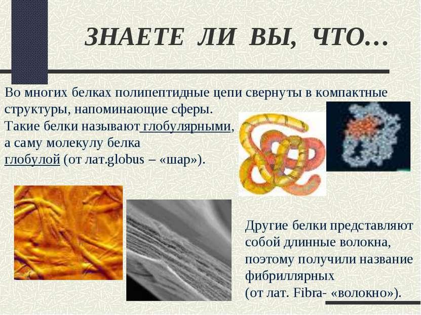ЗНАЕТЕ ЛИ ВЫ, ЧТО… Во многих белках полипептидные цепи свернуты в компактные ...