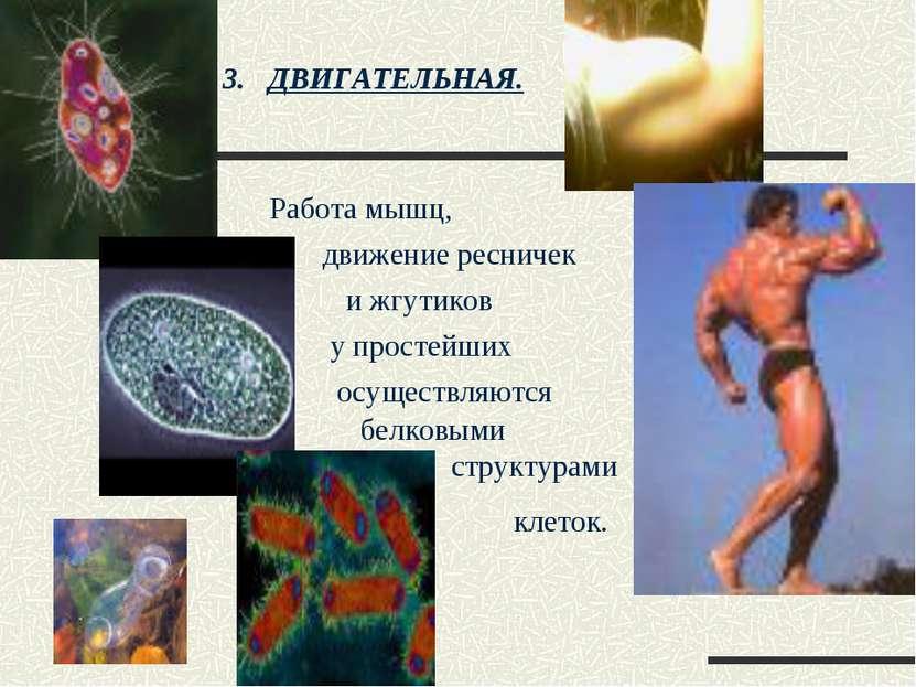 ДВИГАТЕЛЬНАЯ. Работа мышц, движение ресничек и жгутиков у простейших осуществ...