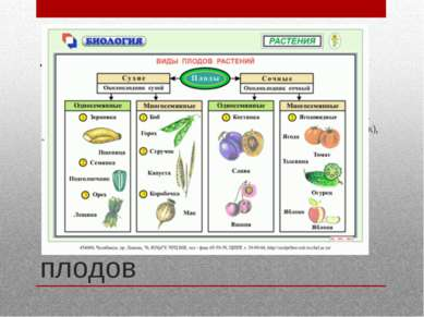 Классификация плодов В большинстве классификаций плоды обычно разделяют на на...