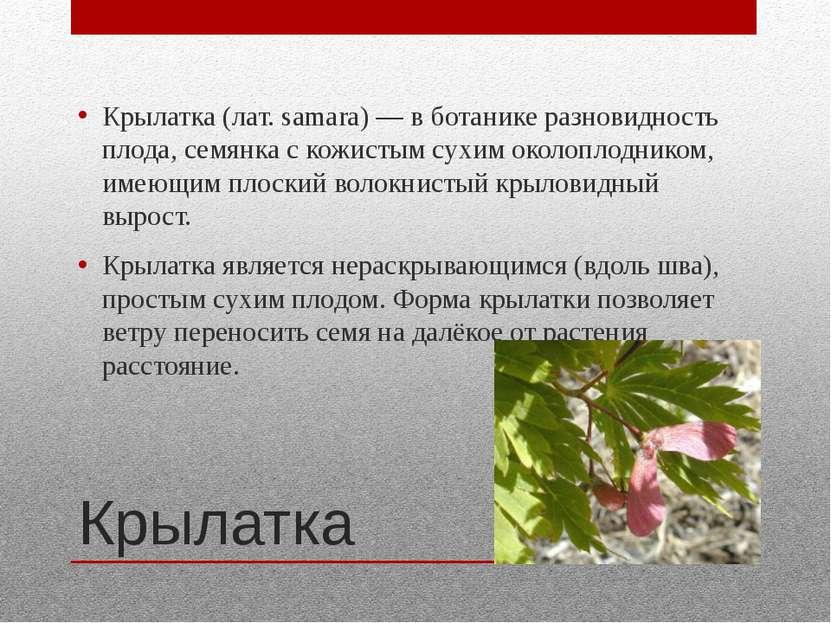 Крылатка Крылатка (лат. samara) — в ботанике разновидность плода, семянка с к...