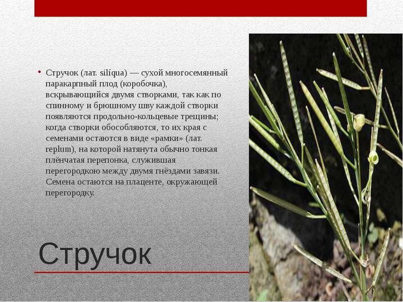 Стручок Стручок (лат. silíqua) — сухой многосемянный паракарпный плод (коробо...