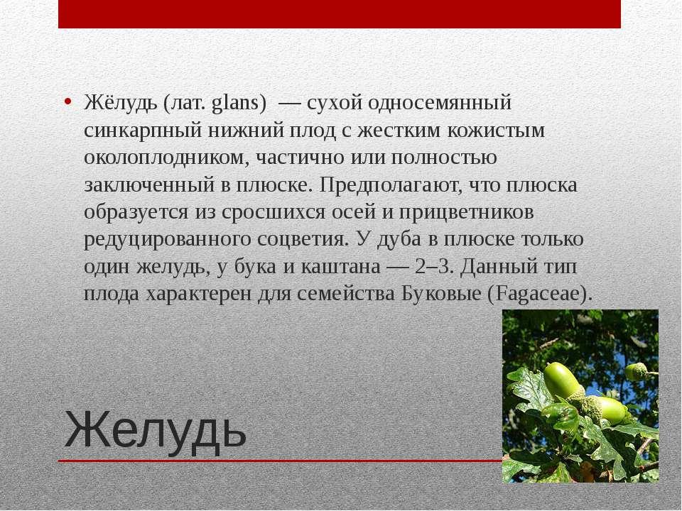 Желудь Жёлудь (лат. glans) — сухой односемянный синкарпный нижний плод с жест...