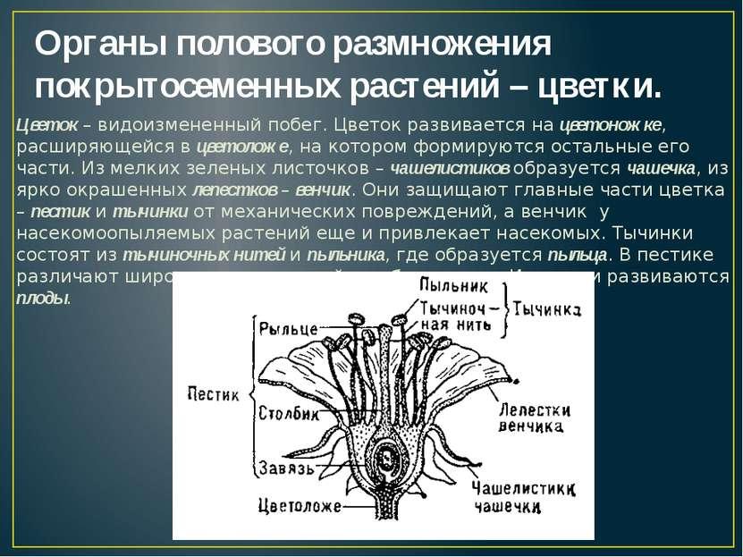 Органы полового размножения покрытосеменных растений – цветки. Цветок – видои...