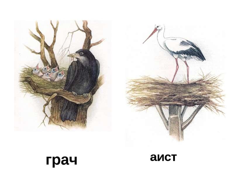 грач аист
