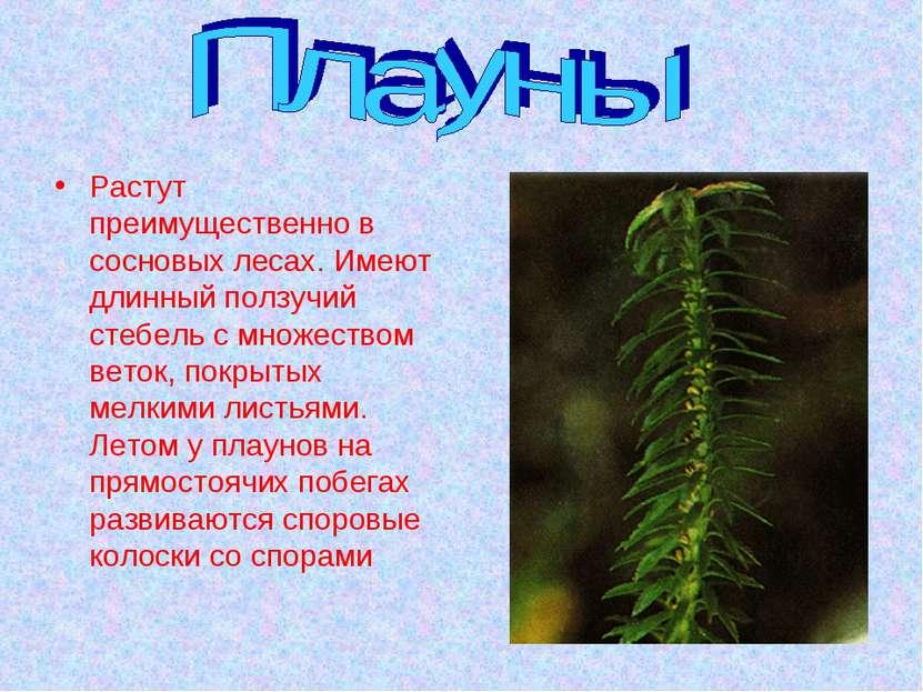 Растут преимущественно в сосновых лесах. Имеют длинный ползучий стебель с мно...